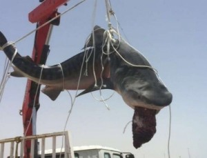 بالفيديو...صياد يُخرج سمكة قرش بالونش في المدينة المنورة