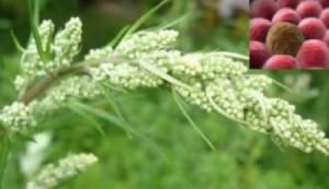 حقيقة علمية: هذه النبتة تدمر 98% من الخلايا السرطانية!