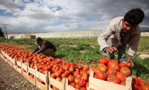 الزراعة تنفي توجيه المزارعين لمضاعفة مزروعاتهم من البندورة