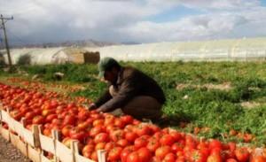 مزارعو البندورة مهددون بالحبس