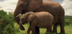 لماذا لا يصاب الفيل بالسرطان...اليكم الاجابة !؟