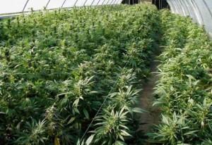 القبض على (3) أشخاص استخدموا منزلاّ لزراعة الماريجوانا المخدرة في عمان
