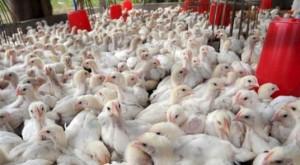 انخفاض أسعار الدجاج 10 قروش
