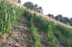 بالصور..القبض على شخص استخدم إحدى المزارع لزراعة نبتة الماريجوانا المخدرة بالبلقاء