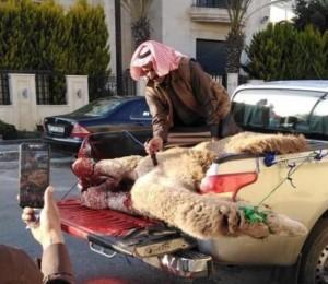 أردنيون ينحرون جمالا ترحيبا بضيف المملكة الأمير تميم