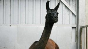 هل يمثل هذا الحيوان الأمل في القضاء على كورونا؟