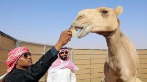 السعودية : ضبط مصري اجرى عمليات تجميل للإبل لرفع سعرها