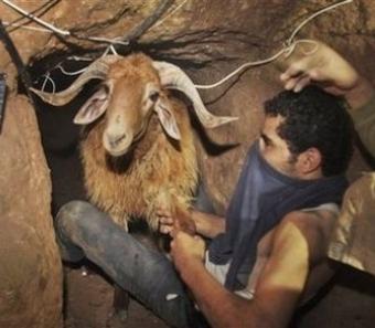السلطات المصرية تصادر 560 رأس ماشية قبل تهريبها إلى غزة