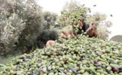 الزيتون الأردني في طريقه لإسرائيل والزراعة ترد: التصدير لا يحتاج لتصاريح