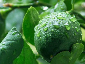 الليمون الأخضر يساعد على علاج مرضى السكر