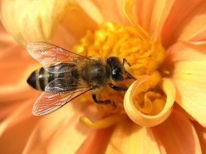 لدغ النحل.. أحدث علاج للضغط والتجاعيد