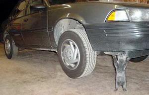 بقيت محتجزه أكثر من ثلاثة أيام.. قطة داخل محرك سيارة مواطن أردني!!